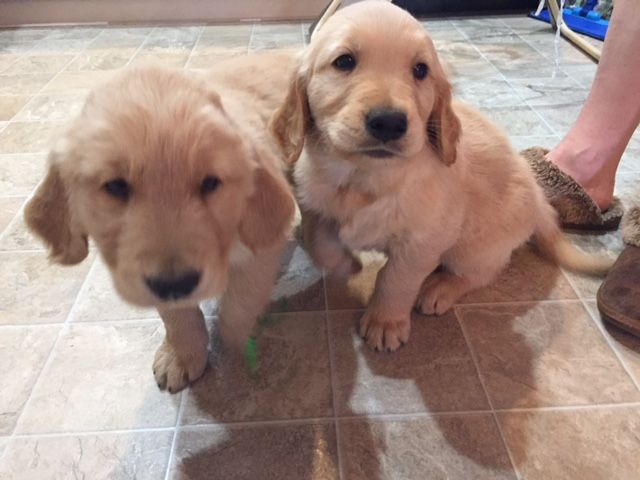 Golden Retriever Puppy For Sale In Colorado Springs Co Adn 31337