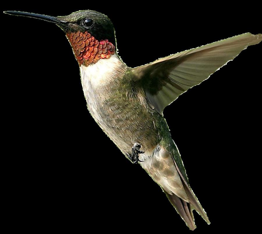 Male Humming Bird Png By Doloresminette On Deviantart Photoshopped Animals Photoshop Images Bird