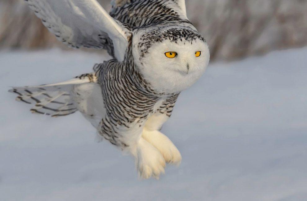 Полет белой совы   Чучело совы, Сова, Кроличий сыч