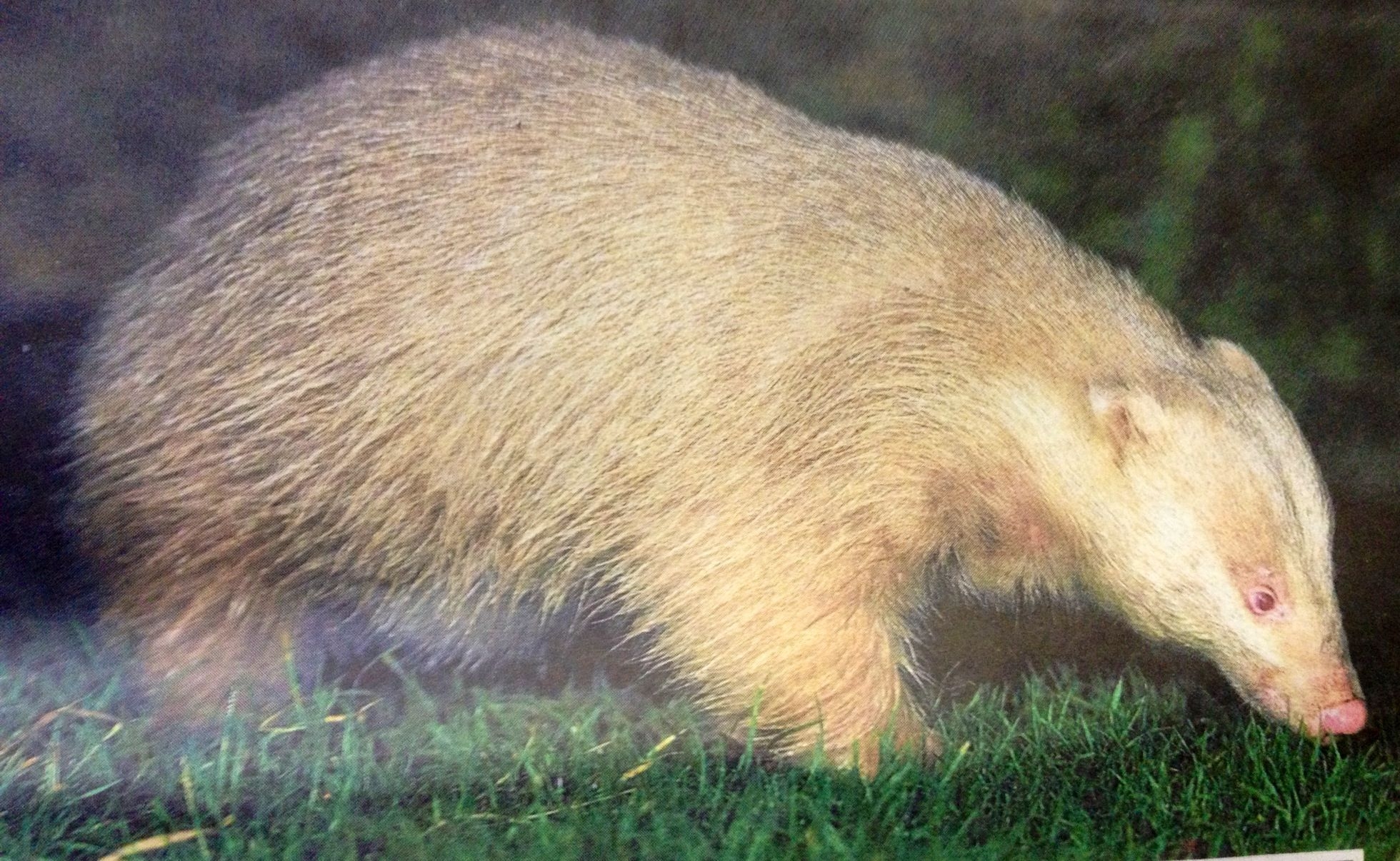 Albino badger  | Unusual Animals | Tejones