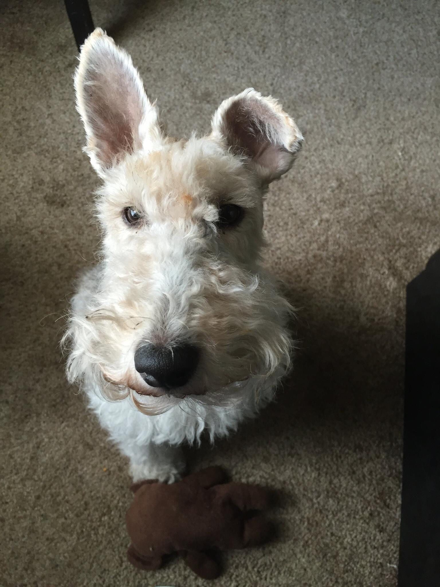 Can I have a bite. | Wired Hair Fox Terriers | Pinterest | Fox ...