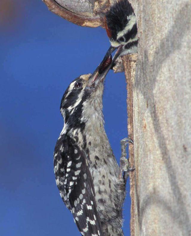 Nuttall's Woodpeckers