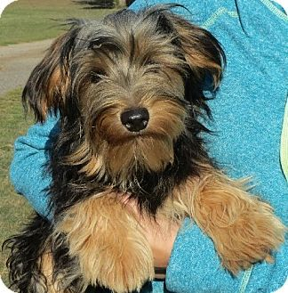 Greenville, RI Yorkie, Yorkshire Terrier. Meet Severus