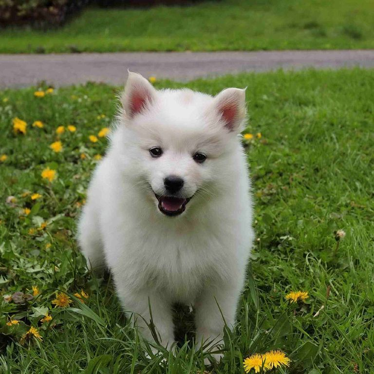 small white dog breeds miniature American Eskimo