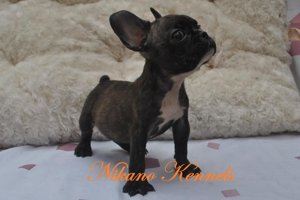 Bordeaux Male Frenche Bulldog Frenchie Puppy For Sale Frenchie Puppy Puppies For Sale