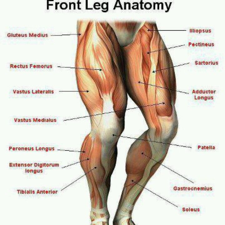 Front Leg Anatomy Body Pinterest Leg Anatomy