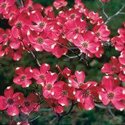 Cornus Red Pygmy Dogwood Trees Red Dogwood Flowering Trees