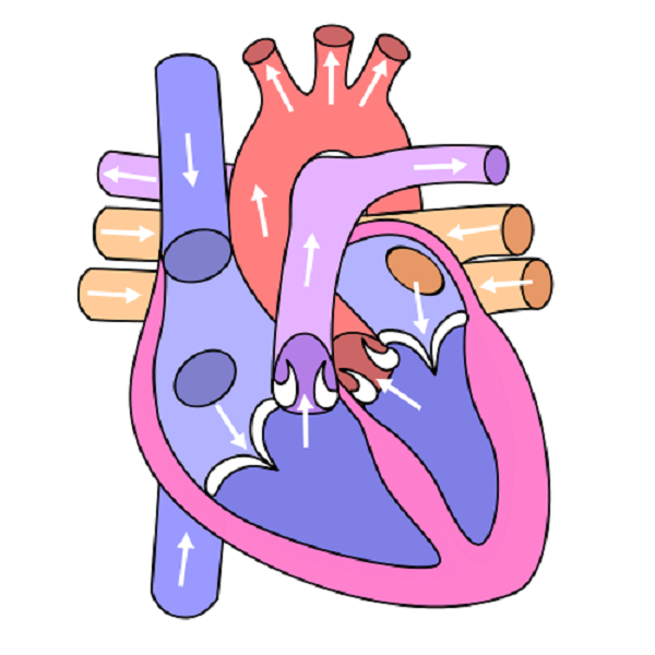 human heart diagram worksheet Health Pictures of Anatomy - Pictures ...