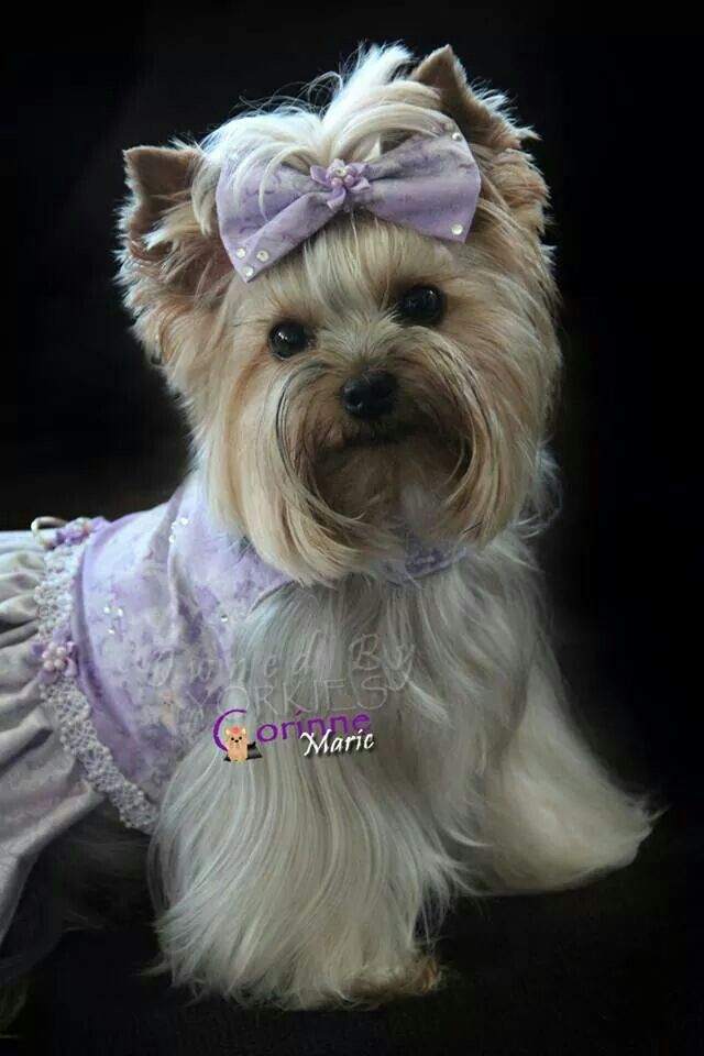 As Usual Another Gala To Go To Dogs Pets Yorkshireterriers Facebook Com Sodoggonefunny Yorkie Dogs Cute Dogs Animals Beautiful