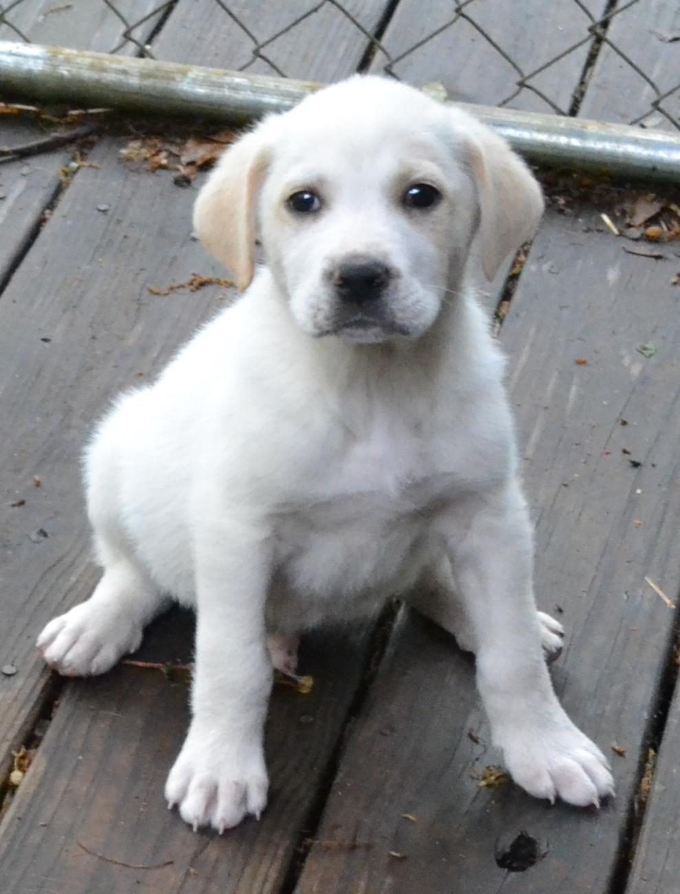 Adopt Budpending on Labrador retriever, Golden