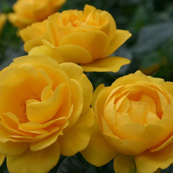 Sunbeam Veranda Rose Plant Potted Own Root Reblooming Golden Etsy Bush Plant Plants Planting Roses