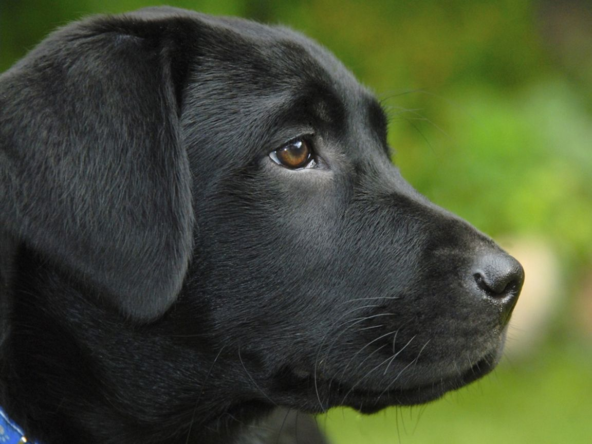 Black Lab Labrador Retriever Labrador Retriever Puppies Labrador
