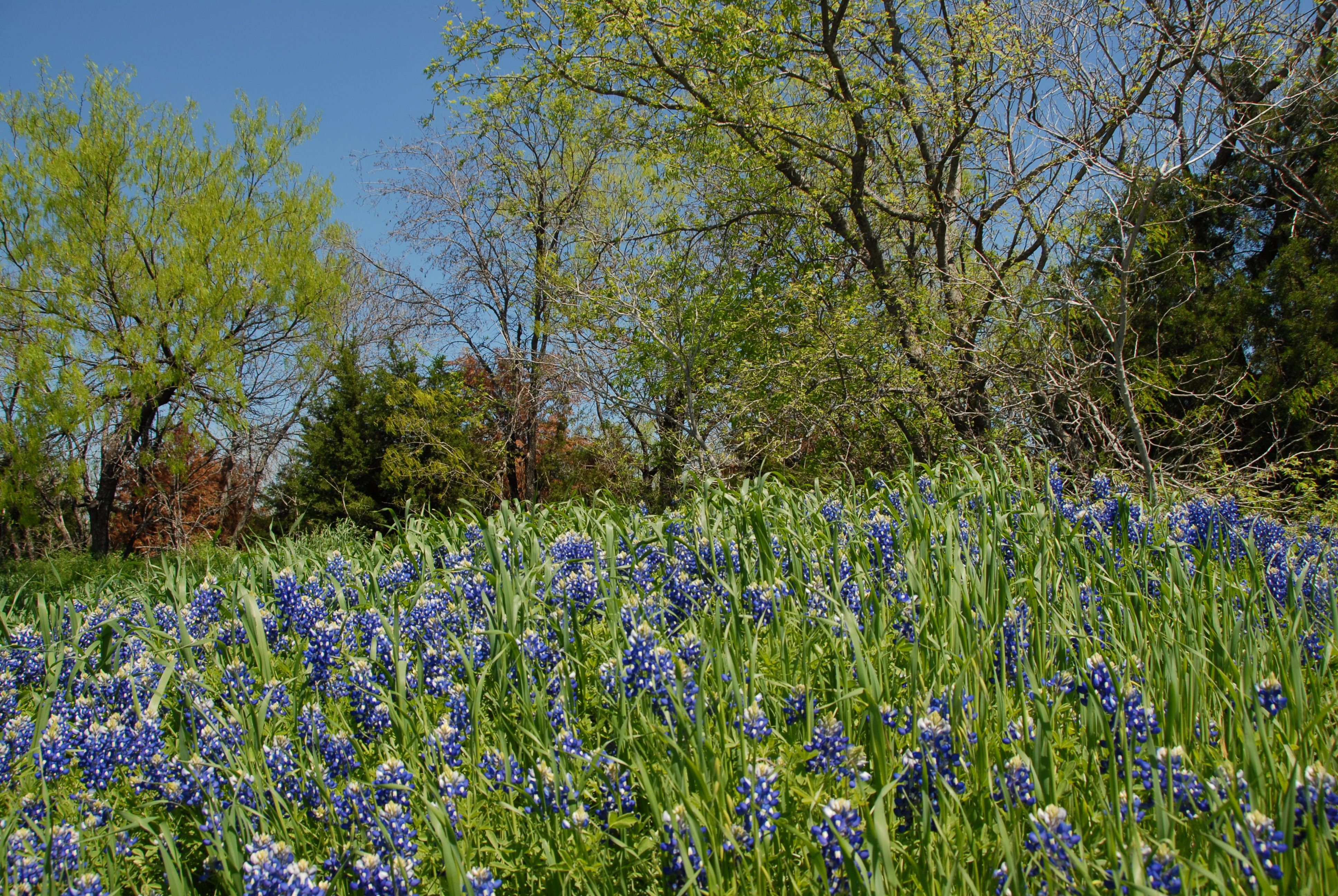 cedar hill state park is a great place to take pics of bluebonnets