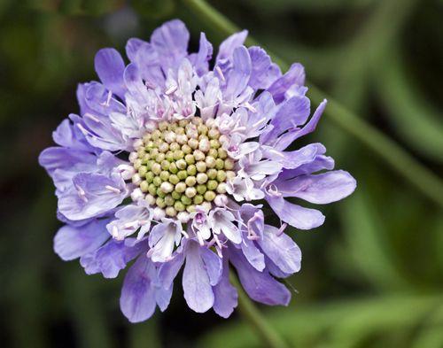 Garden Flowers: Scabiosa caucasica…also known as the Pincushion flower | Flowerona