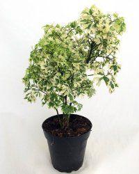 Ming Aralia Plant Care Polyscias Fruticosa Plant Care Plants