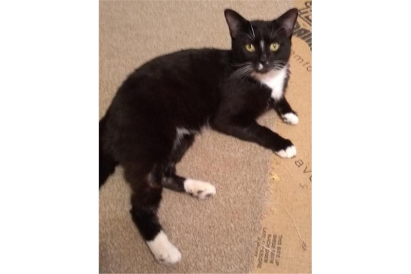 Jackson Ready For Adoption Cats Protection Preston Cat