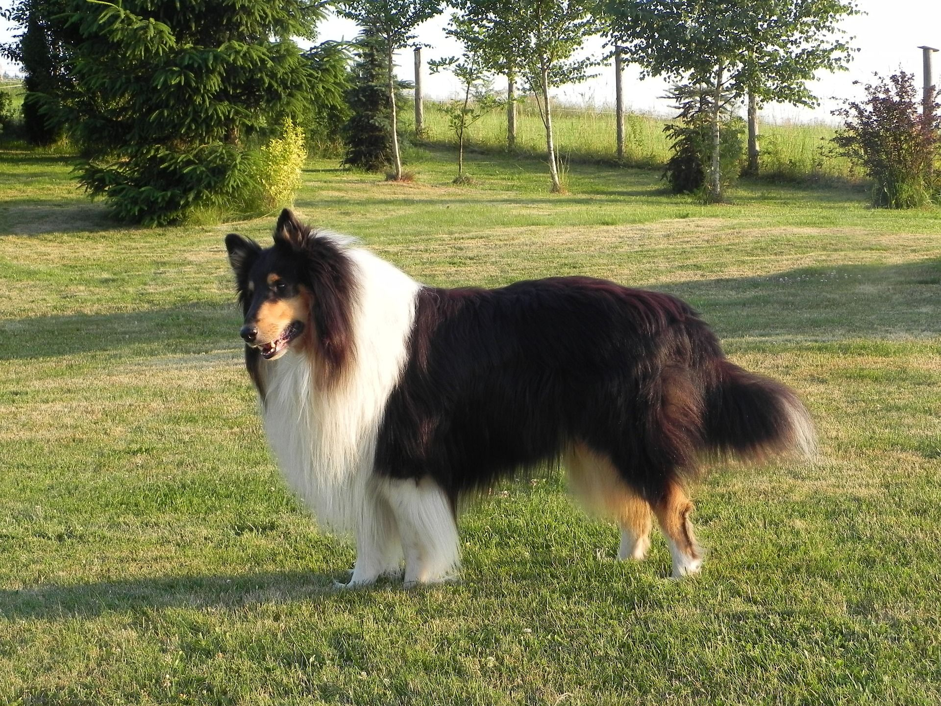 Why Big Dogs With Long Hair Needs More Attention Big Dogs Big Dog Breeds Collie Dog
