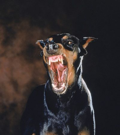 Eflection Of My Life Scary Dogs Angry Dog Doberman