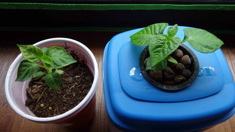 Hydroponic Vs Soil Experiment - 6 Weeks Growth Comparison