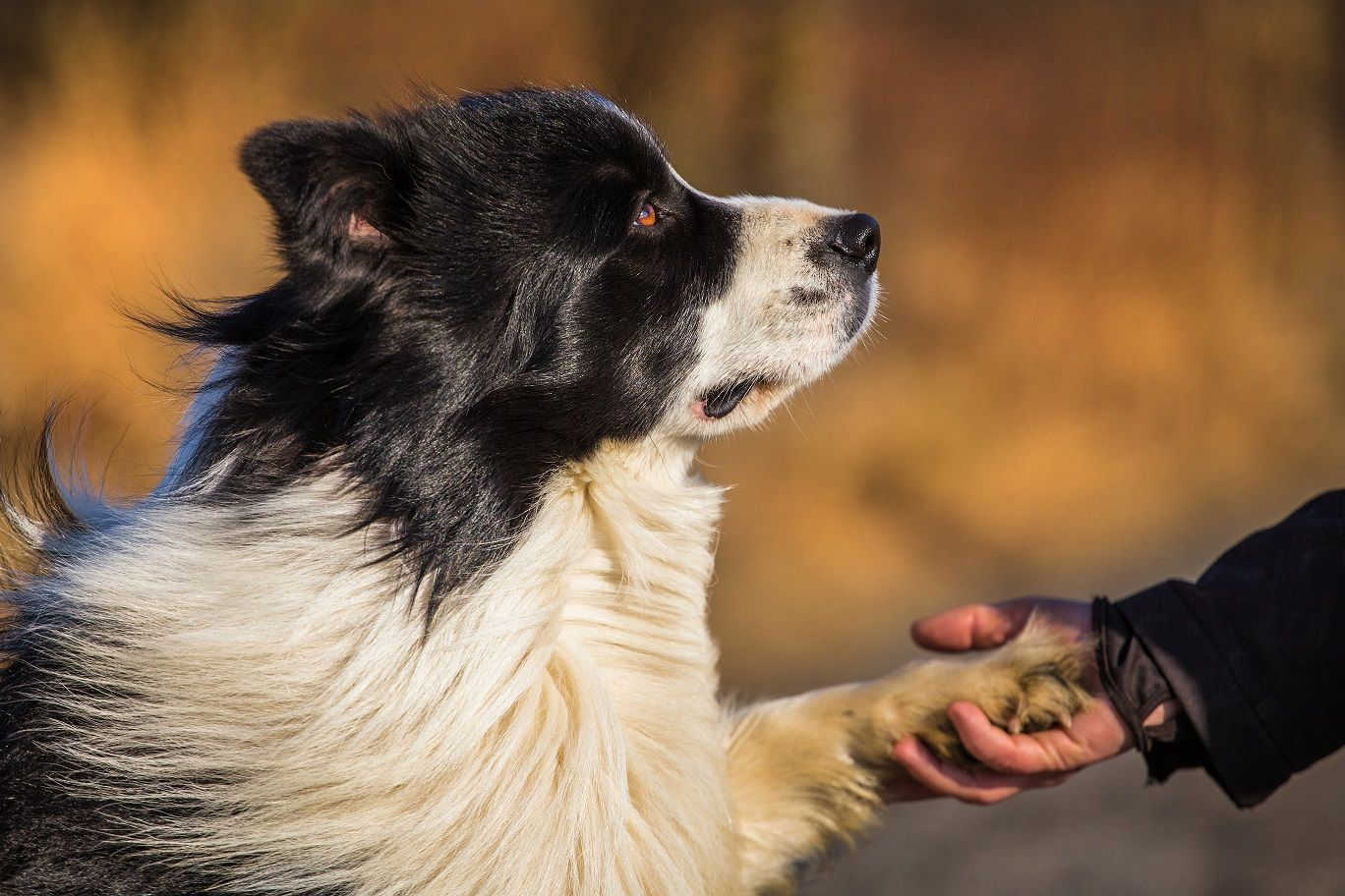 Friendly Collies image by Big Barker Dog Beds Dog breeds