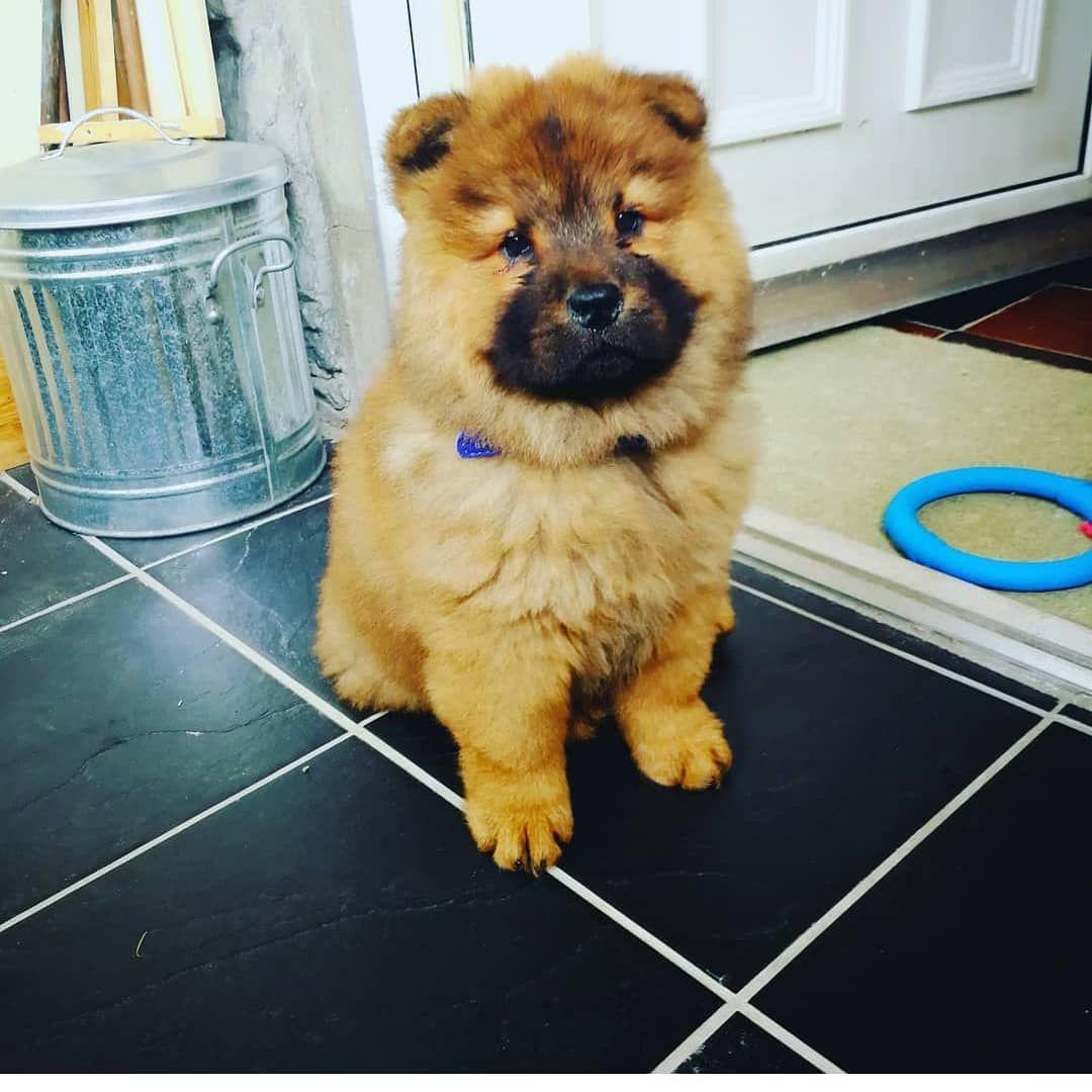 Everyone Meet Kiki Dog Gifts Dogs Chow Chow