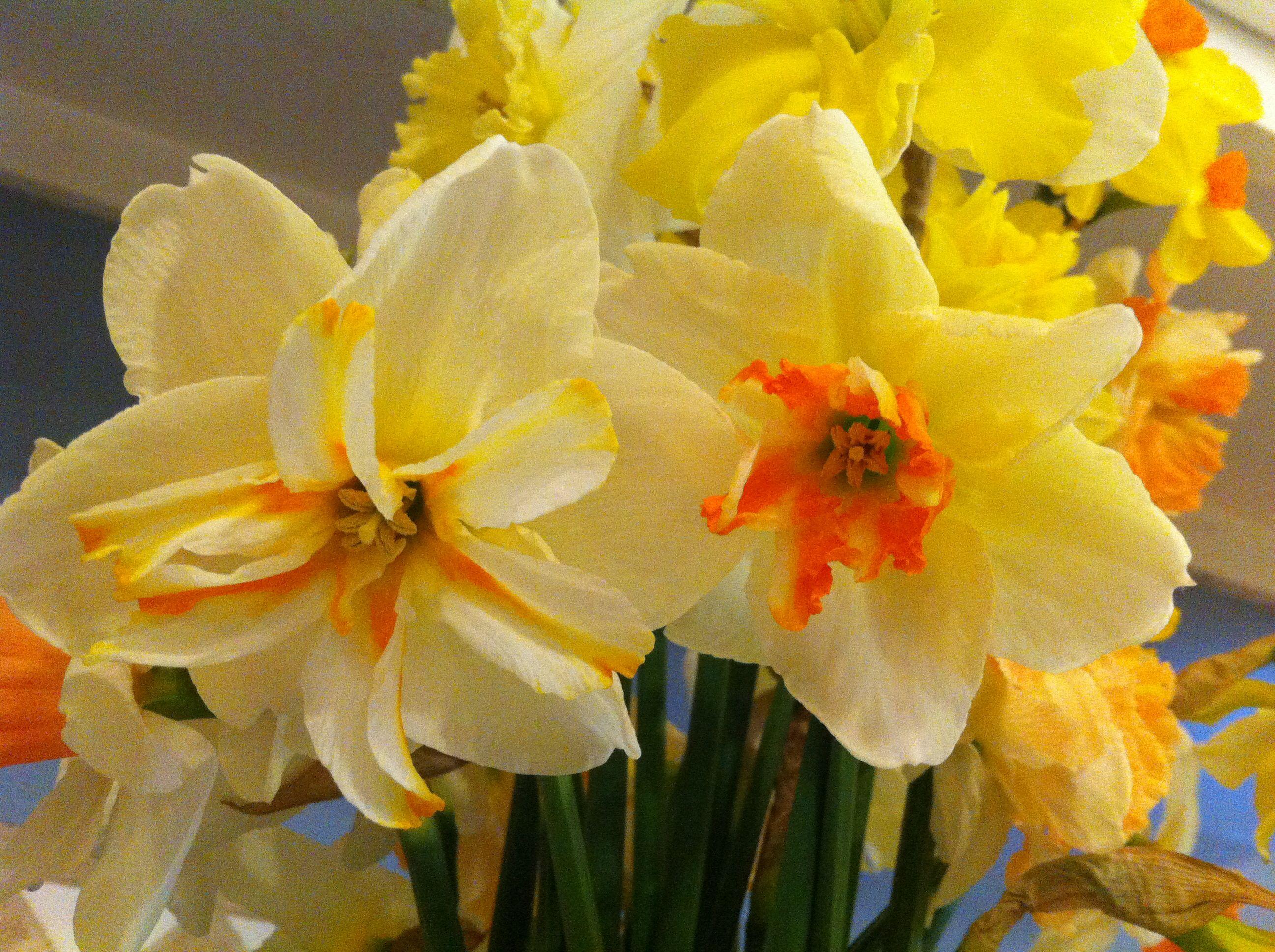 Star Cup Daffodil My Garden Pinterest Daffodils And Gardens