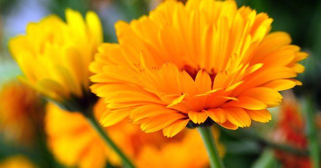 Risparmio idrico: i fiori da giardino che consumano meno acqua