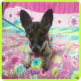 Hollywood Fl Corgi Toy Fox Terrier Mix Meet Daisy Mae A Puppy