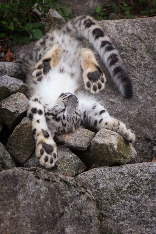 Out Of Order By Cloudtail The Snow Leopard A Picture From Cub It Felt Asleep During Playing Flickr P FQuymx