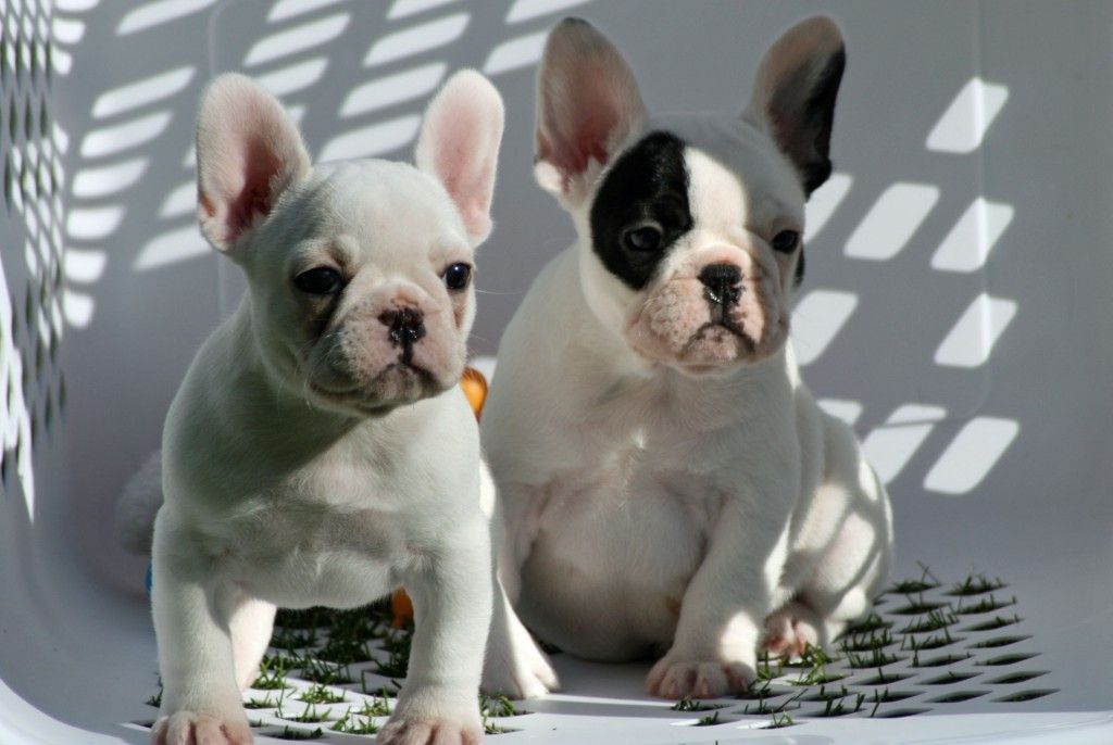 Puppies And Upcoming Litters Epic French Bulldogs Of Michigan