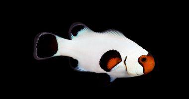 Wyoming White Clownfish Captive Bred Super Special Saltwater Fish Clownfish Clown Fish Saltwater Fish Tanks Weird Fish
