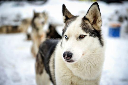 Piebald Husky Siberian Husky Husky Dogs