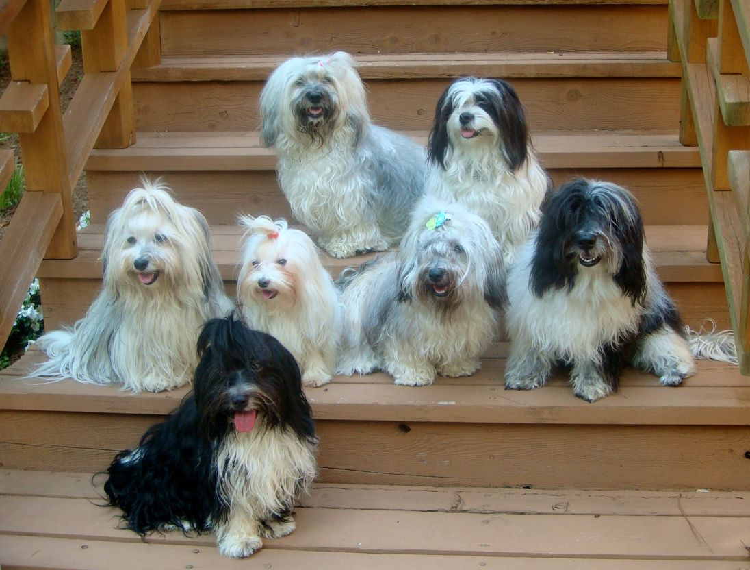 Havanese..I see lots of these Hav's are from Atlanta and