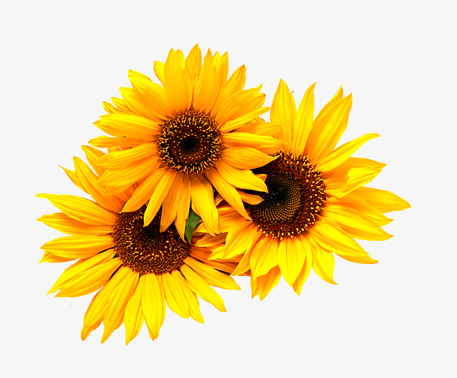 Little Sunflower Png And Clipart Sunflower Clipart Sunflower Pictures Sunflower Tattoo Small