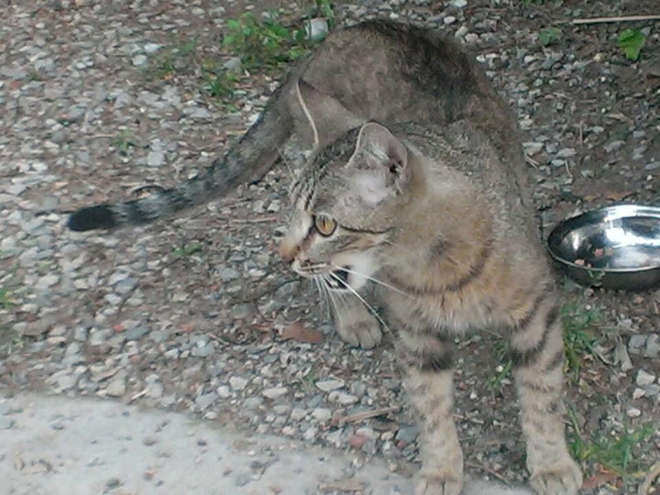 Sweet thin cat seen near Linn st and Santa Fe in Norman