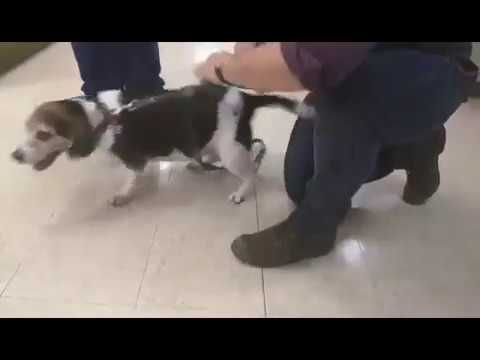 Beagle S Bark Sounds Like A Star Wars Tie Fighter Excited Dog