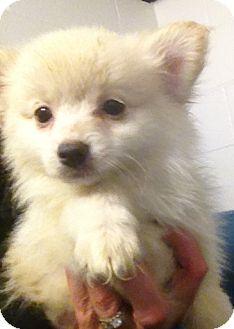 Richmond Va Pomeranian Chihuahua Mix Meet Mopsy A Puppy For