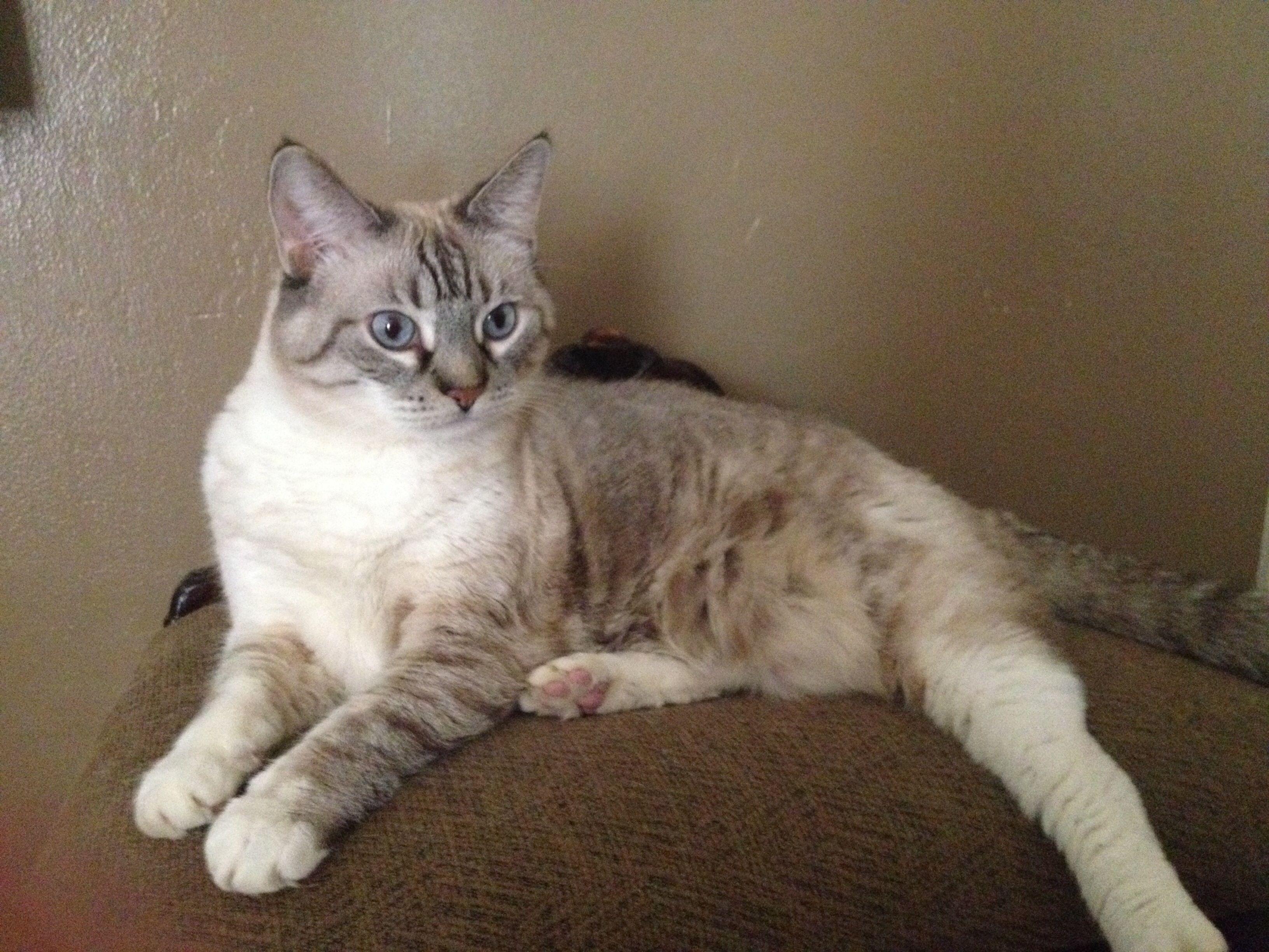 Nanashi my sweet lynx point Siamese cats