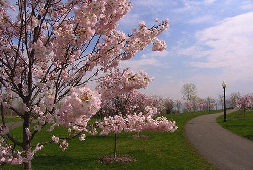 Cherry Blossom Trees Belle Isle Park Detroit Cherry Blossom Tree Belle Isle Belle Isle Detroit