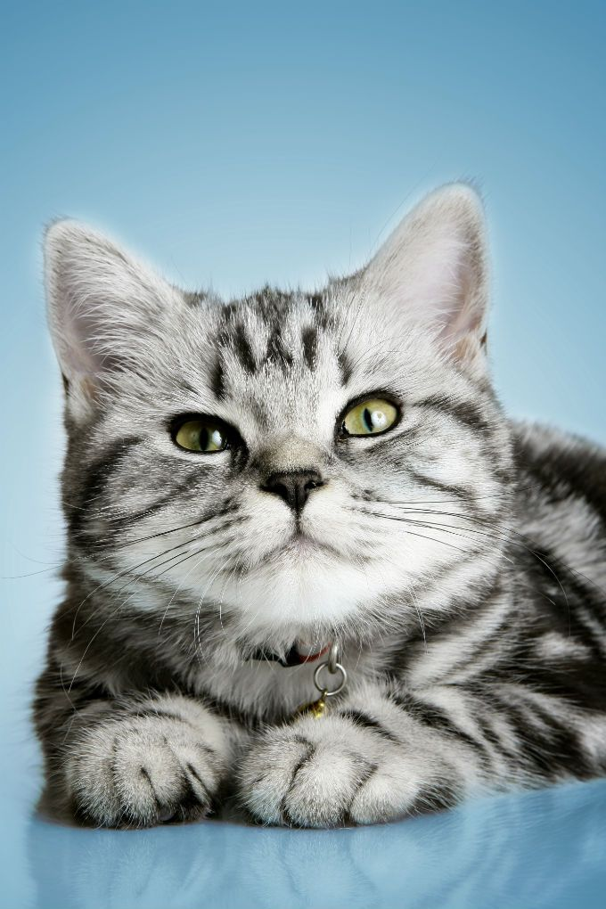 British Shorthair Cat Breed Information Pictures Characteristics