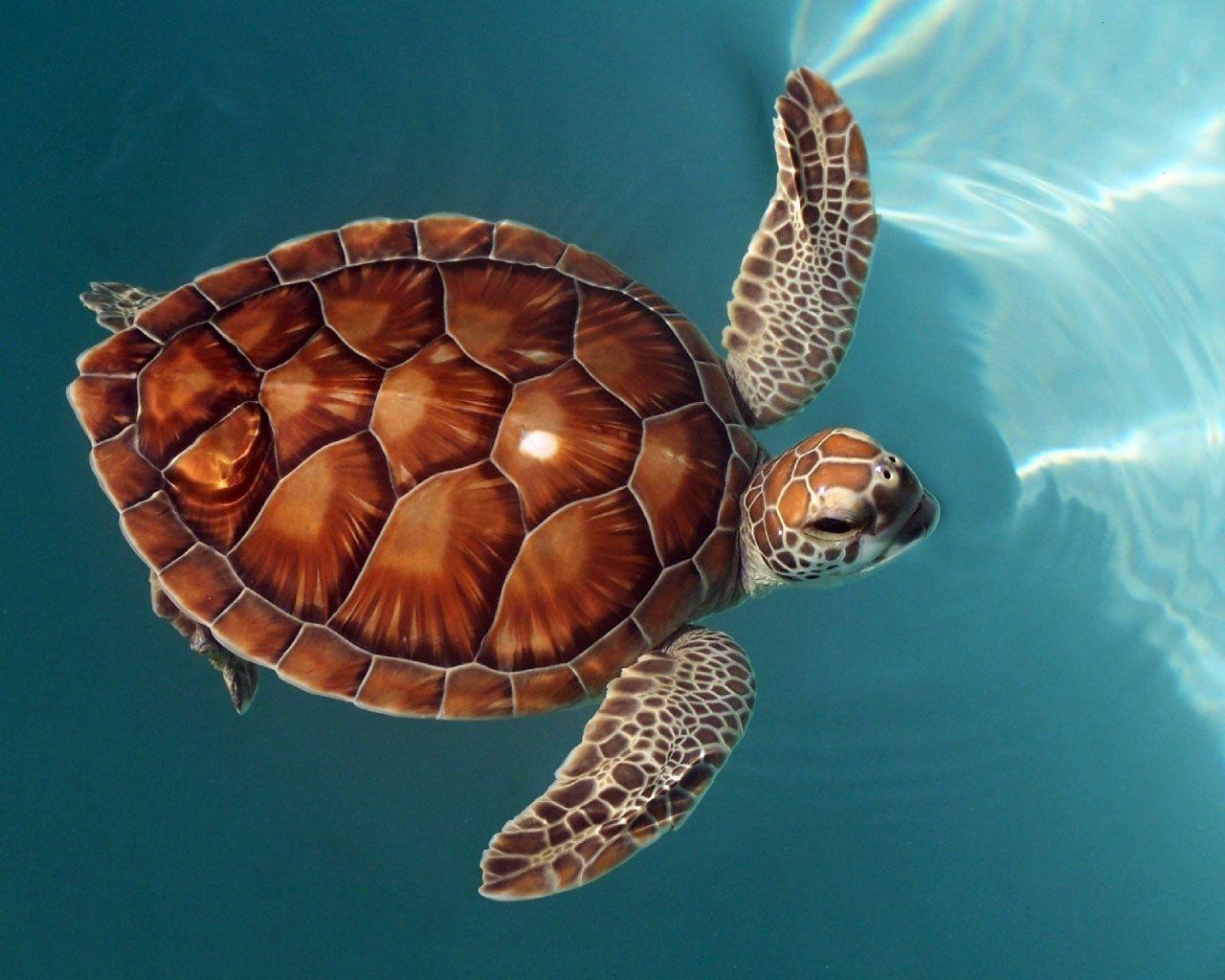 Terrapin Oceanic Turtles High Resolution Wallpaper Download Turtle Photos Free Jpg 1 280 1 024 Pixeles Ocean Turtle Turtle Sea Turtle Art