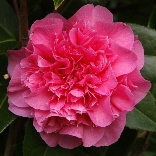 Camellia 'Debbie Carnation'