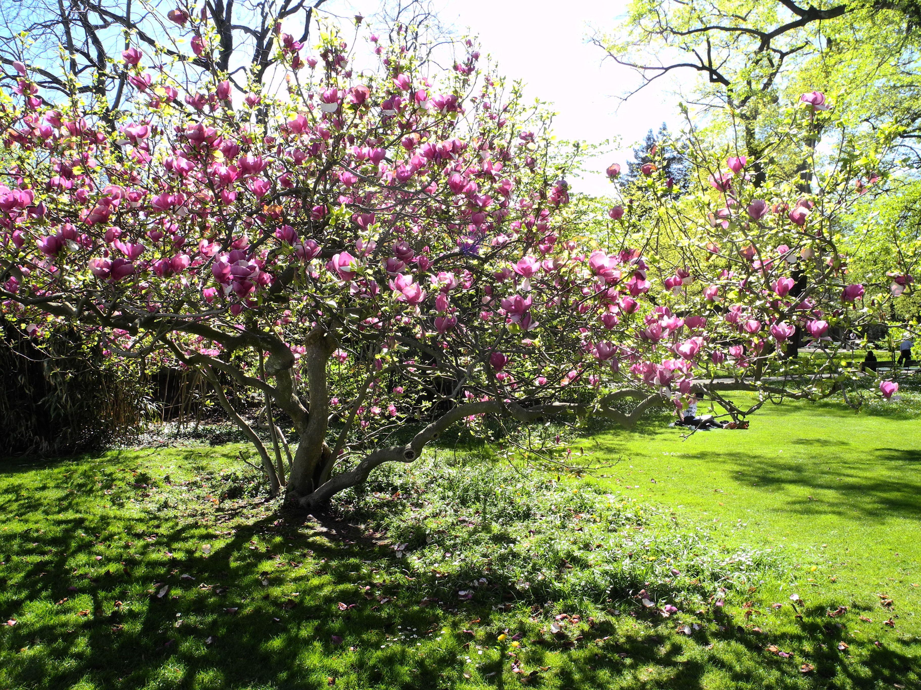 image gallery magnolia soulangeana. Black Bedroom Furniture Sets. Home Design Ideas