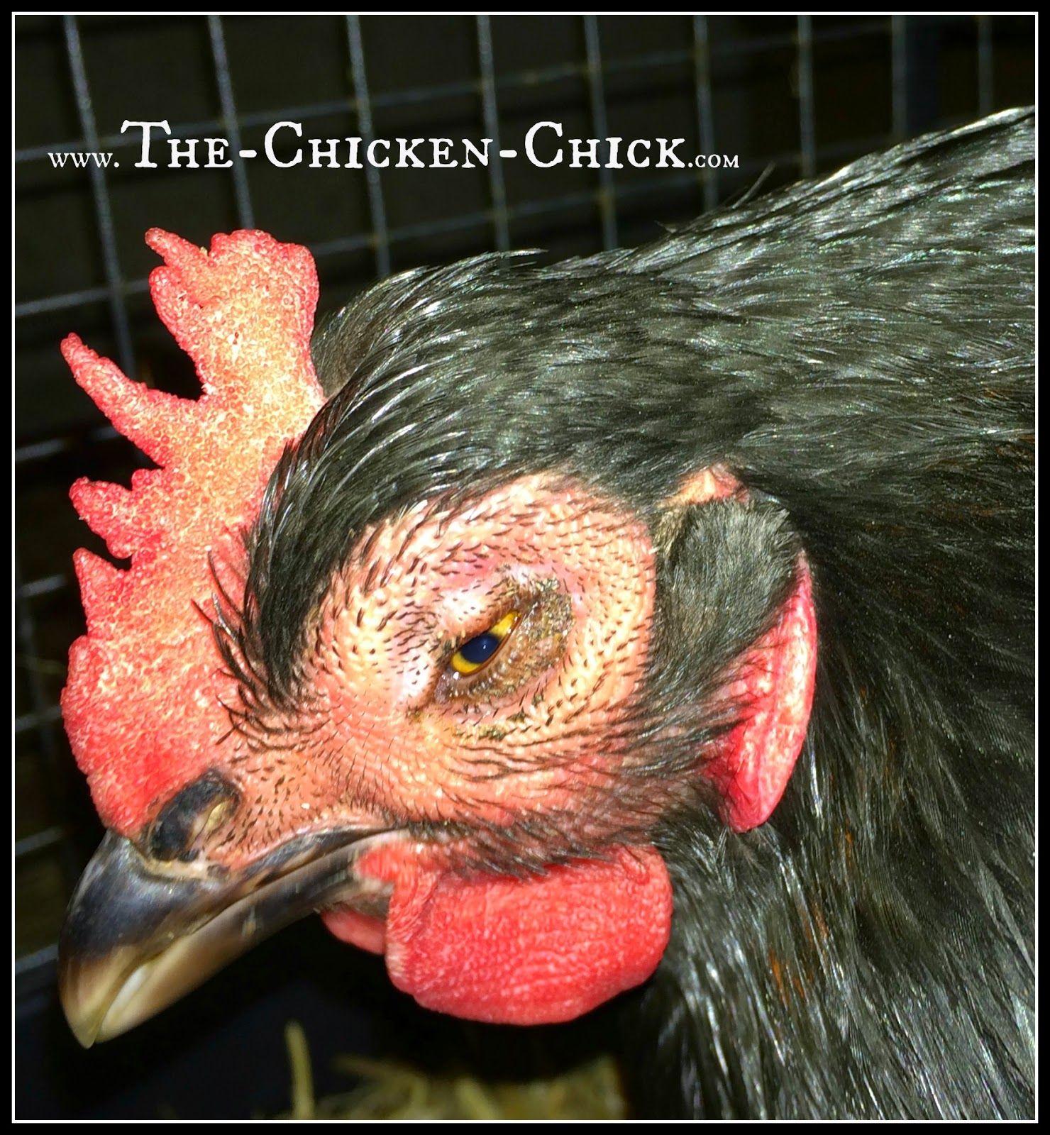 Backyard Chickens & Avian Influenza What to Do About Bird Flu