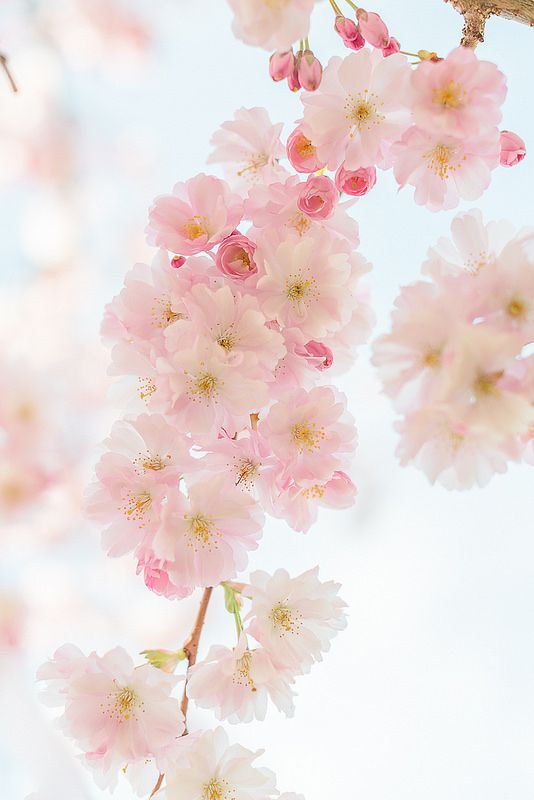 While Walking Cherry Blossom Flowers Pretty Flowers Beautiful Flowers