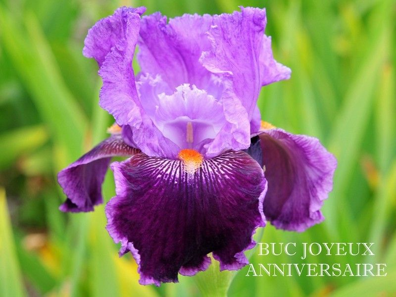 Tb Iris Germanica Buc Joyeux Anniversaire Francois 2002
