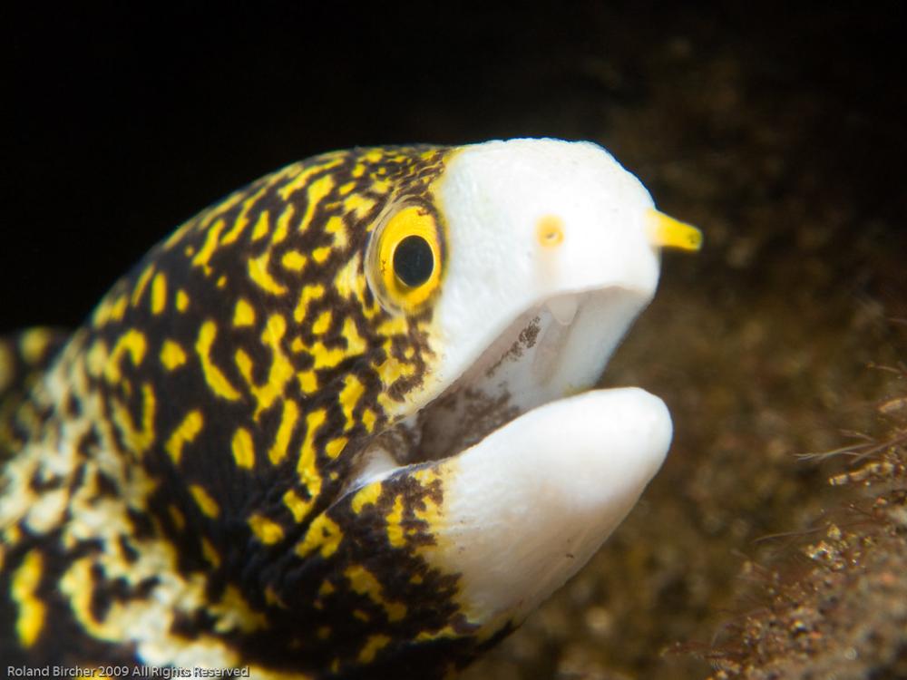 Snowflake Moray Eel In 2020 Moray Eel Sea Creatures Ocean Animals