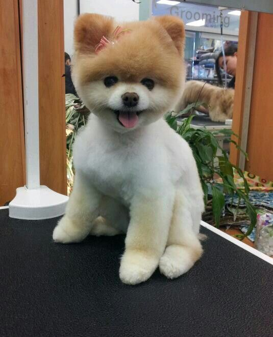 Absolutely Perfect Teddy Bear Pom Pomeranian Teddy Bear Cut Pomeranian Haircut Pomeranian Puppy