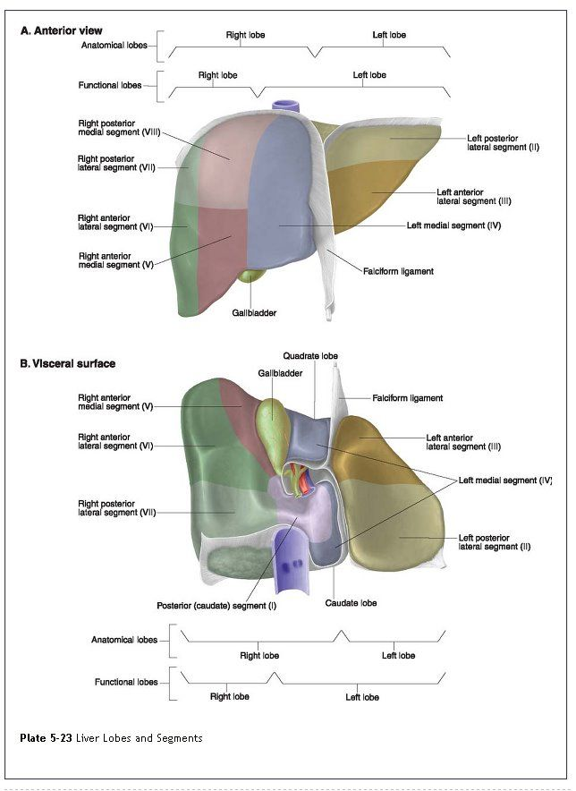 Wk 3 Medical Textbook In The Net Liver Anatomy Visceral Aspect Of