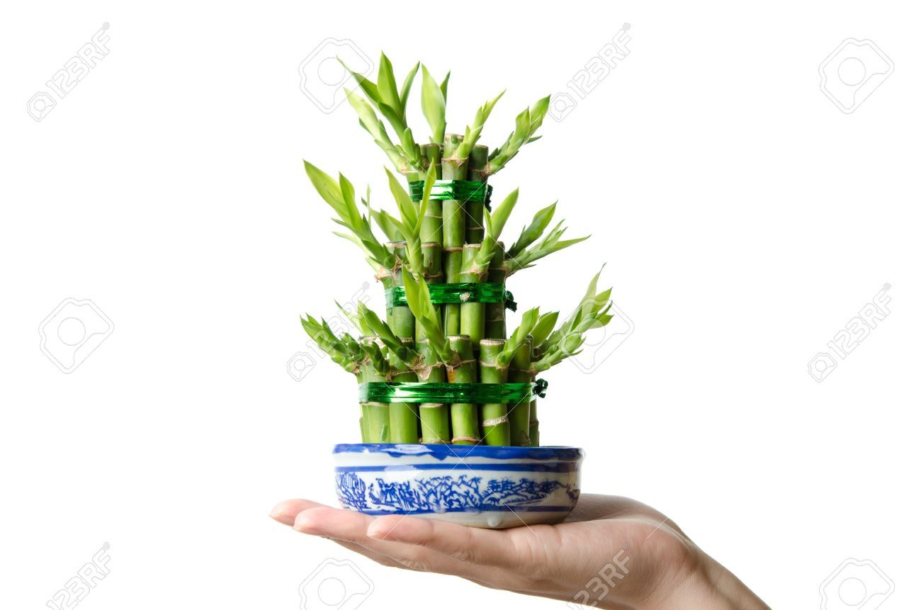 About lucky bamboo mylot lucky bamboo heart healthy